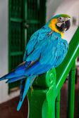 Niebieski żółty papugi — Zdjęcie stockowe