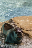 Sealion lying — Stock Photo