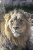 Lion of quiet look   — Stock Photo