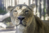 Lioness of calm look — Stock Photo