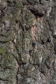 Birch tree macro with fine details — Stock Photo