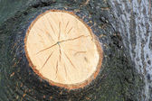Oak tree macro with cutted of branch with fine details — Stock Photo