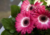 Pink gerbers — Stock Photo