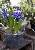 Hyacinth in pot — Stock Photo