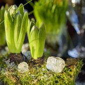 Hyacinth. — Stock Photo