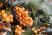 Firethorn (Pyracantha) berries clusters   with cobweb — Stock Photo