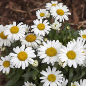 White daisy in the park — Stock Photo