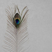 Peacock's feather — Stock Photo