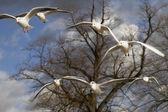 Sea-gulls flying in Hyde Park — Foto de Stock