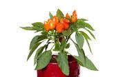 Plantas de capsicum — Foto Stock