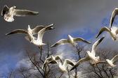 Чаек летающих в Гайд-парке — Стоковое фото