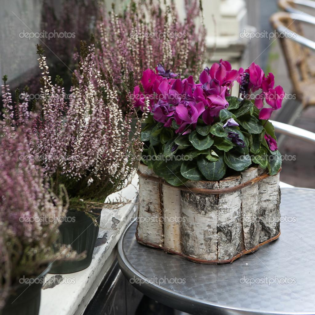 rosa alpenveilchen in einen topf birke stockfoto. Black Bedroom Furniture Sets. Home Design Ideas