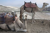 Camel, Judean Desert — Stock Photo