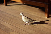 Brown pigeon — Stock Photo