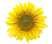 Slunečnice — Stock fotografie