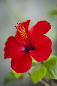 Květ ibišku — Stock fotografie