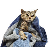 British wet kitten after the showe — Stock Photo