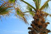Palmeira azul céu — Foto Stock