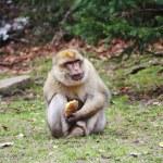 Barbary Macaque Monkey Eating a Potato — Stock Photo #44034111