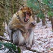 Actobat Barbary Macaque Monkey Balancing on a Branch — Stock Photo #44034123