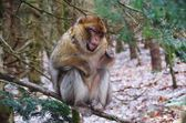 Actobat Barbary Macaque Monkey Balancing on a Branch  — Stock Photo
