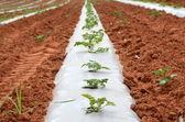 Planting under Plastic — Foto de Stock