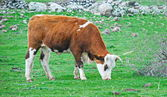 Cow grazing in the Galilee — Stockfoto