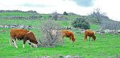 Krávy na pastvě v galileji — Stock fotografie
