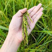 Closeup di riso sul mano fino in risaia — Foto Stock
