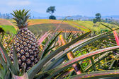 Pineapple, tropical fruit  growing in a farm of the Northeast Thailand. — Stock Photo