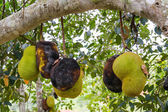 Jackfruit Gnawing insects eaten Pests Plant Diseases-Fungi  — Stock Photo