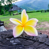 Branch of Beautiful yellow White frangipani flowers, plumeria flowers — Stock Photo