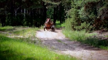 Horse drawn carriage drives on forest road — Stock Video