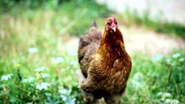 Fowl walks in the yard — Stockvideo