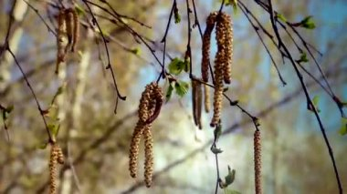 Spring birch catkins — Stock Video