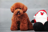 Toy poodle — Stock Photo