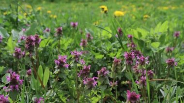 Wild thym herbs on a green meadow — Stock Video
