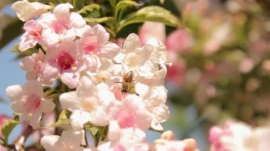 Close-up of pink blossom and bees — Stock Video