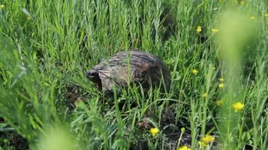 Spur-thighed tortoise on a pasture — Stock Video