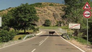 Approaching a cow standing in the middle of the road — Stock Video