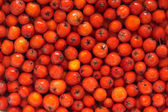 Rowan berries in water — Stock Photo