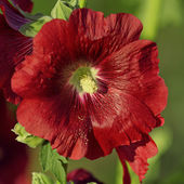 Flower of Common Hollyhock, Russia — Stock Photo