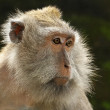 Portrait of adult female Balinese macaques, Indonesia — Stock Photo #44586407