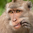 Portrait of a young male Balinese macaques who picks his teeth, — Stock Photo #44587987