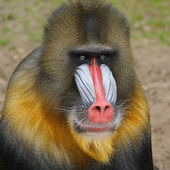 Portrait of the adult male mandrill, The Netherlands — Stock Photo
