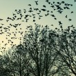Постер, плакат: Jackdaws flying to their collective sleeping place The Netherl