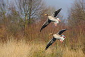 Couple landing wild geese, Netherlands — Stock Photo