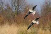 Couple landing wild geese, Netherlands — Zdjęcie stockowe