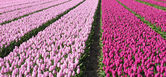 Tulip cultivation in the Netherlands — Stockfoto