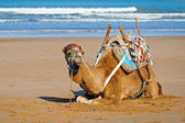 Young dromedary in Essauira, Morocco — Stock Photo